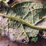 Puceron vert de l'artichaut
