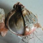 Botrytis sur bulbes (Botrytis Allii) ©CA29