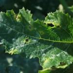 Cladosporiose (Cladosporium cucumerinum) sur feuillage, ©CA29
