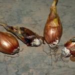 Fusariose sur bulbes (Fusarium oxysporum)©CA29