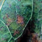 Mildiou du feuillage (Peronospora parasitica) ©CA29