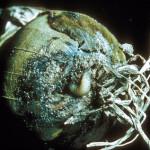 Larve de mouche de l'oignon sur poireau (Delia antiqua) ©CA29