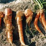 Nematodes sur racines (Heterodera carotae) ©CA29