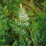Oïdium sur feuillage (Erysiphe heraclei) ©CA29