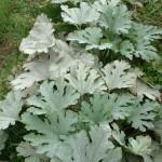 Oïdium sur feuillage (Sphaerotheca fuliginea, Erysiphe cichoracearum) ©CA29