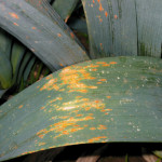 Rouille du poireau (Puccinia porri) ©COTIG