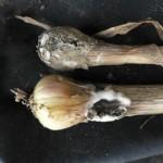 Pourriture blanche (Sclerotium cepivorum) ©CA29