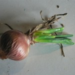 virose de la bigarrure de l'oignon (OYDV=Onion Yellow Dwarf Virus) ©CA29